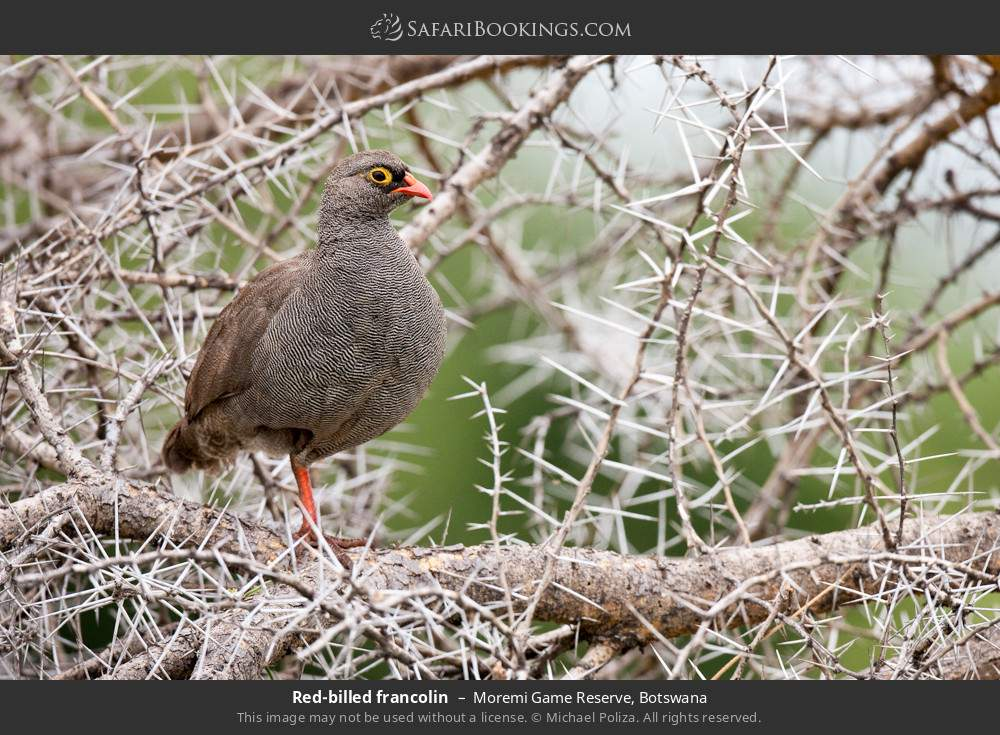 Red-billed spurfowl in Moremi Game Reserve, Botswana