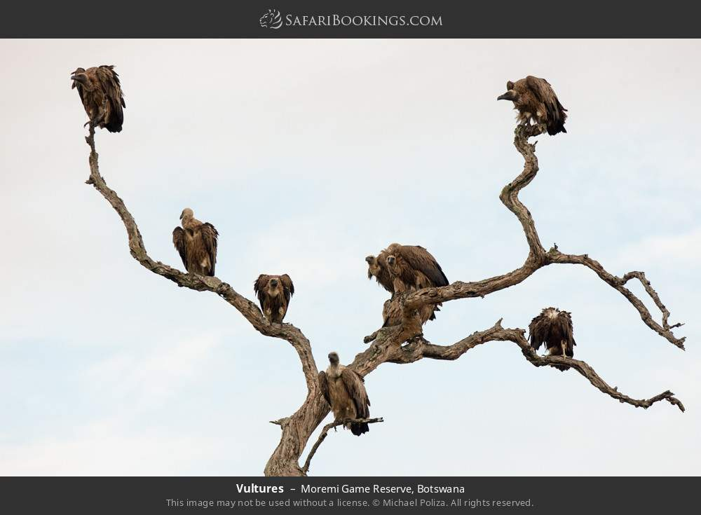 Vultures in Moremi Game Reserve, Botswana