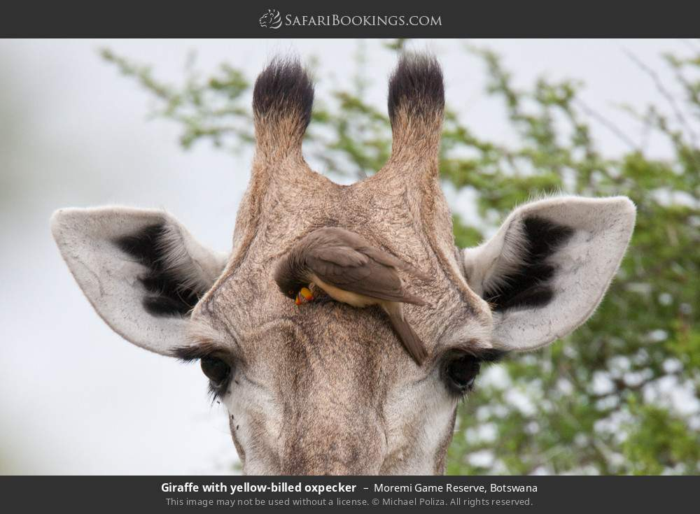 Giraffe with yellow-billed oxpecker in Moremi Game Reserve, Botswana