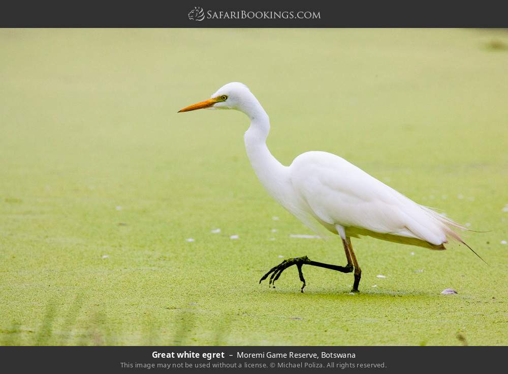 Great white egret in Moremi Game Reserve, Botswana