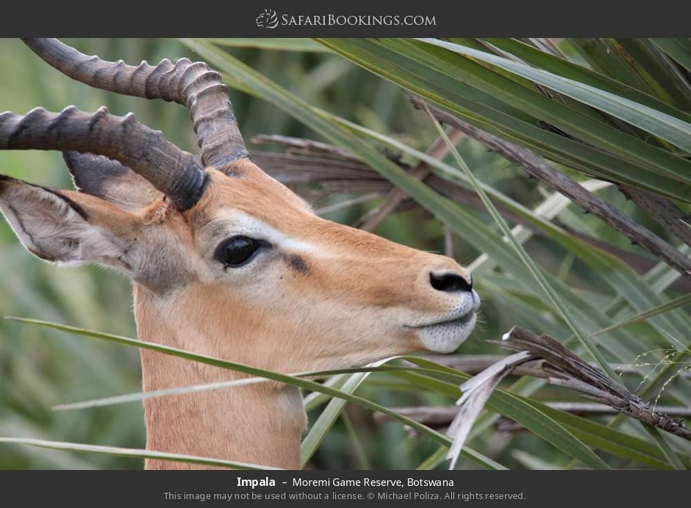 Impala in Moremi Game Reserve, Botswana