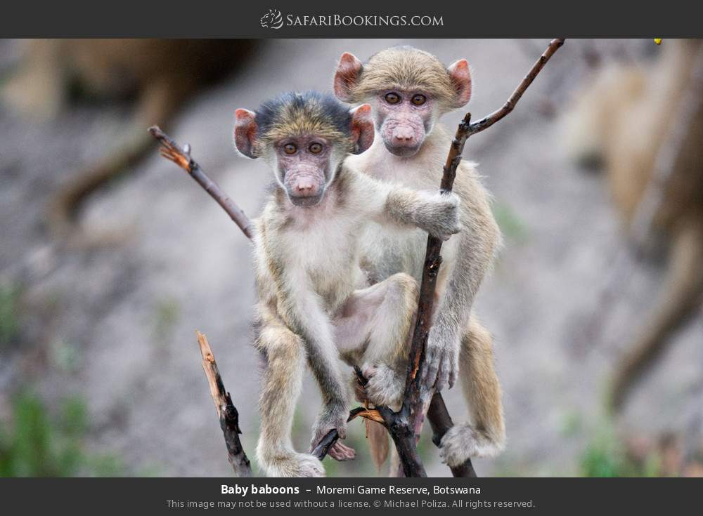 Baby baboons in Moremi Game Reserve, Botswana