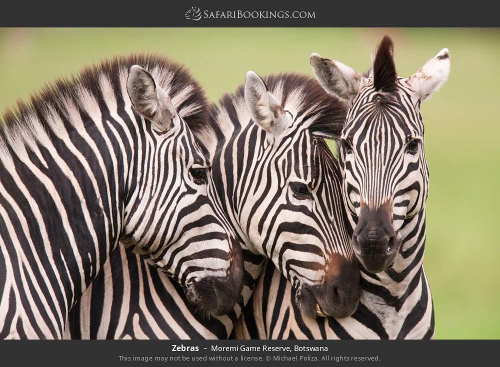 Zebras in Moremi Game Reserve, Botswana