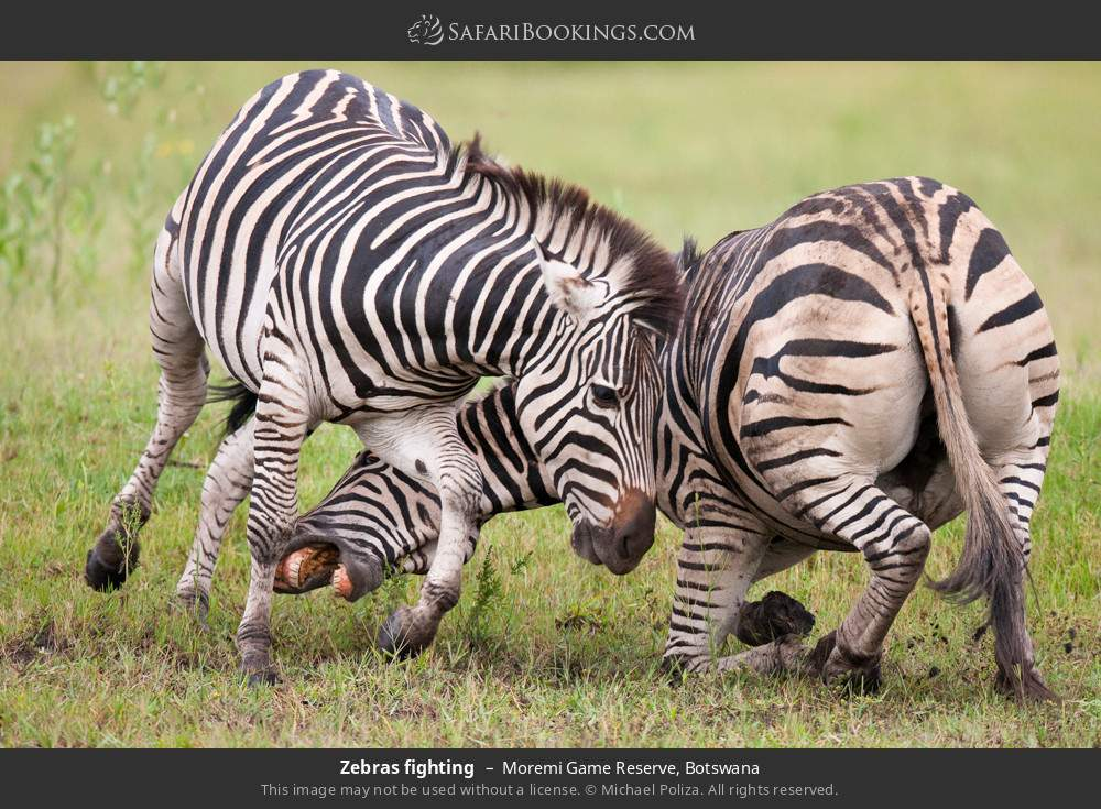 Zebras fighting in Moremi Game Reserve, Botswana