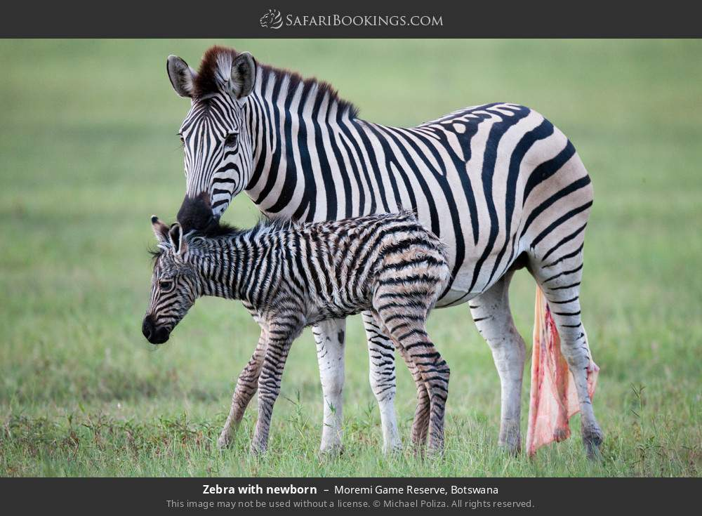 Zebra with newborn in Moremi Game Reserve, Botswana