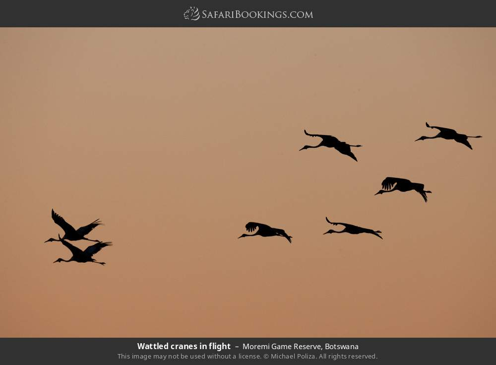Wattled cranes in flight in Moremi Game Reserve, Botswana