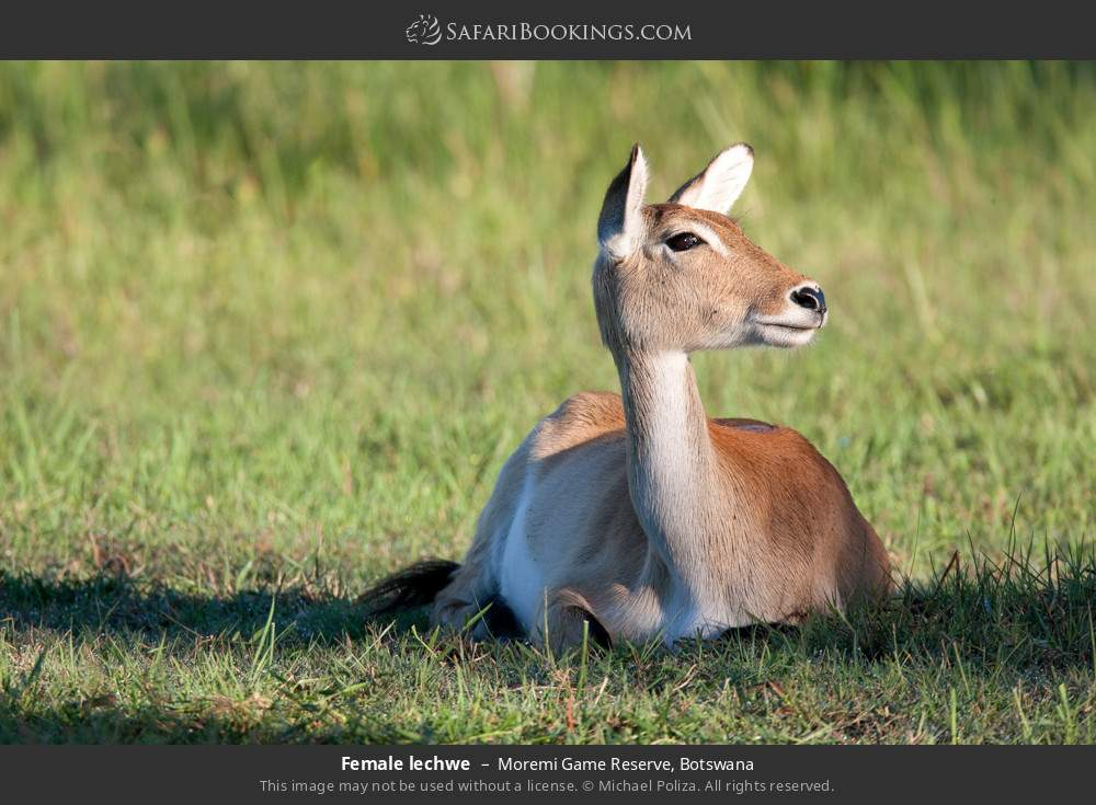 Female lechwe in Moremi Game Reserve, Botswana
