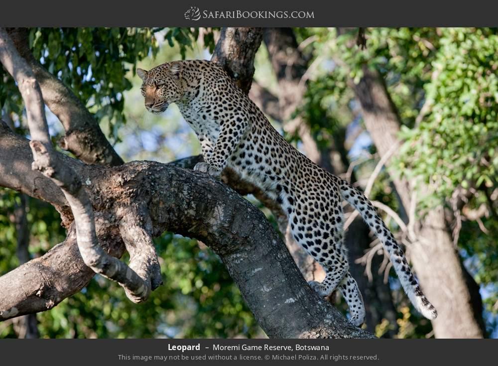 Leopard in Moremi Game Reserve, Botswana
