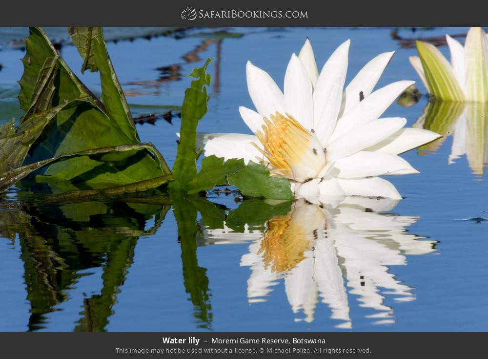 Water lily in Moremi Game Reserve, Botswana