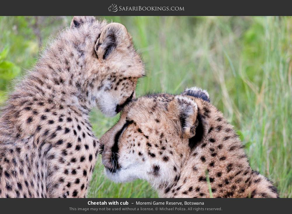 Cheetah with cub in Moremi Game Reserve, Botswana