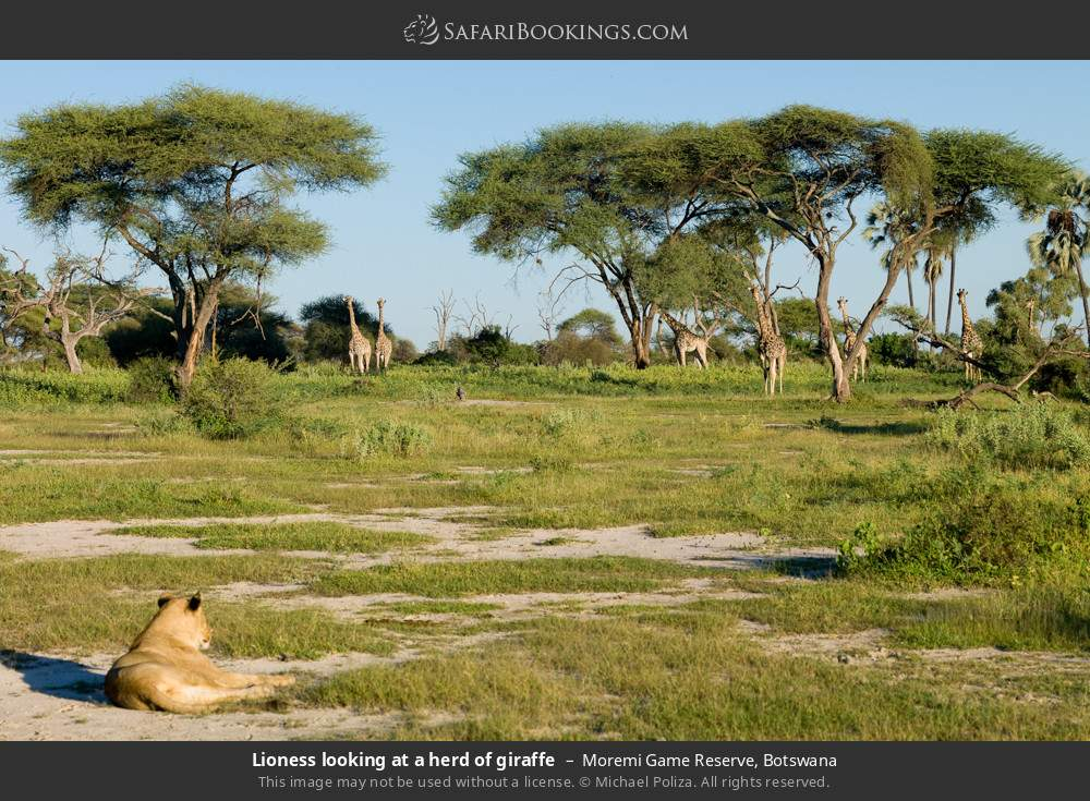 Lioness looking at a herd of giraffe in Moremi Game Reserve, Botswana