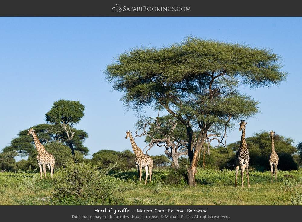 Herd of giraffe in Moremi Game Reserve, Botswana