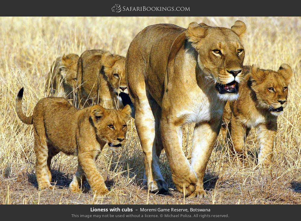 Lioness with cubs in Moremi Game Reserve, Botswana