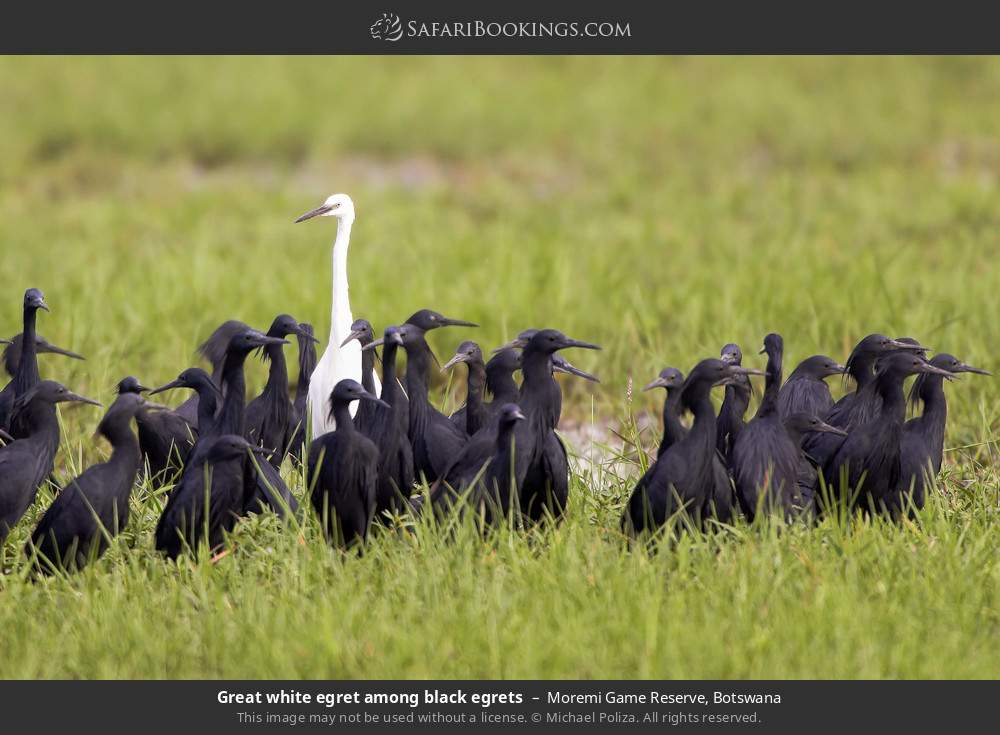 Great white egret amongst black egrets in Moremi Game Reserve, Botswana