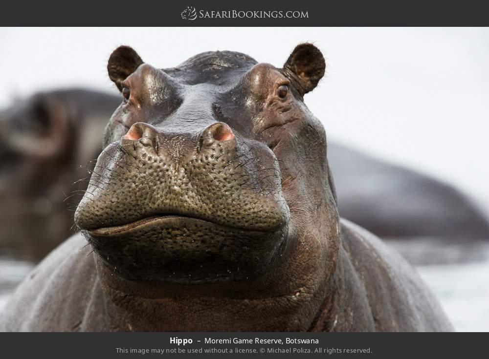Hippo in Moremi Game Reserve, Botswana