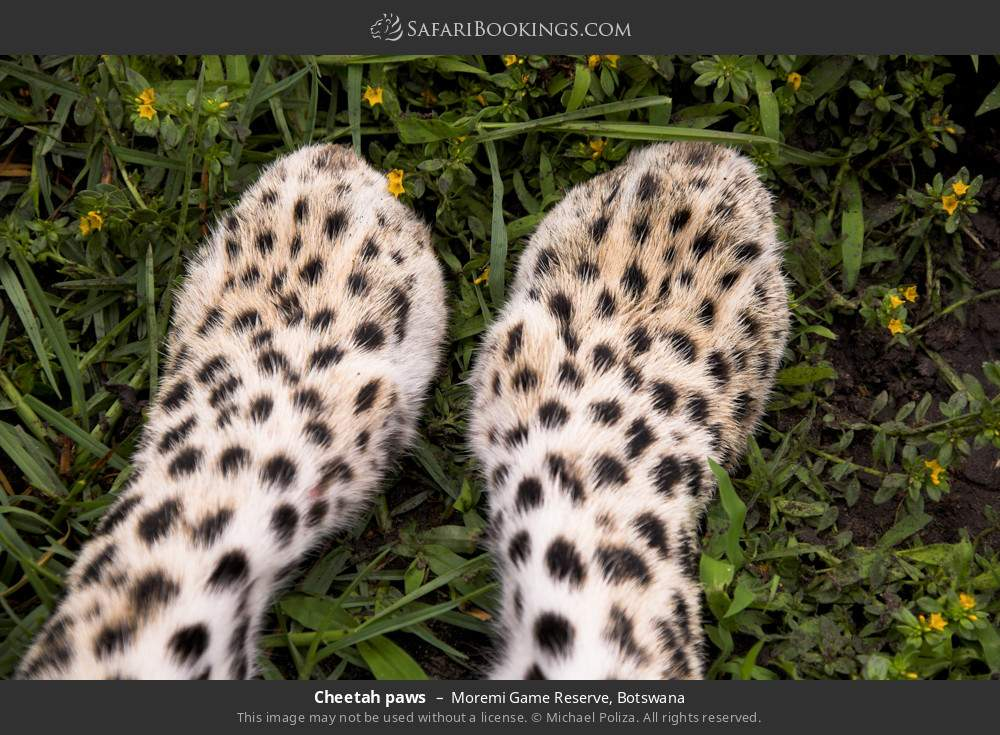 Cheetah paws in Moremi Game Reserve, Botswana
