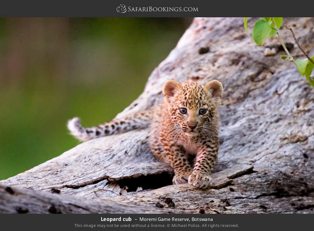 Leopard cub in Moremi Game Reserve, Botswana
