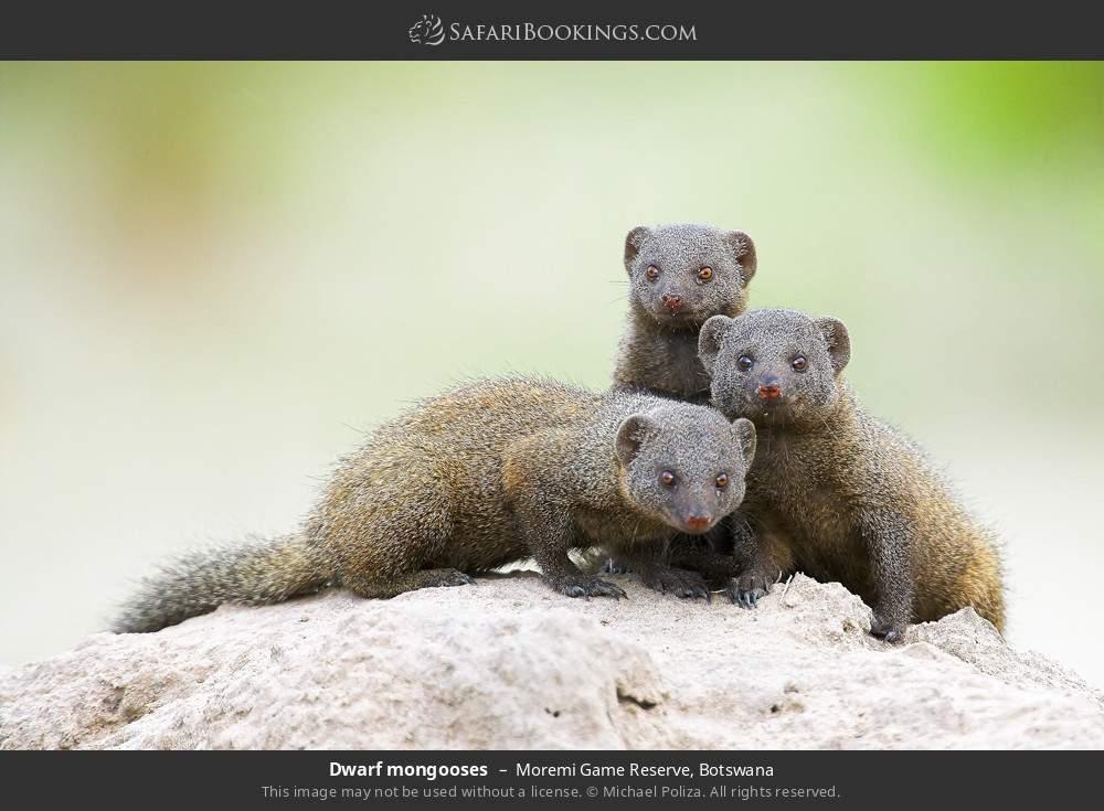 Dwarf mongooses in Moremi Game Reserve, Botswana