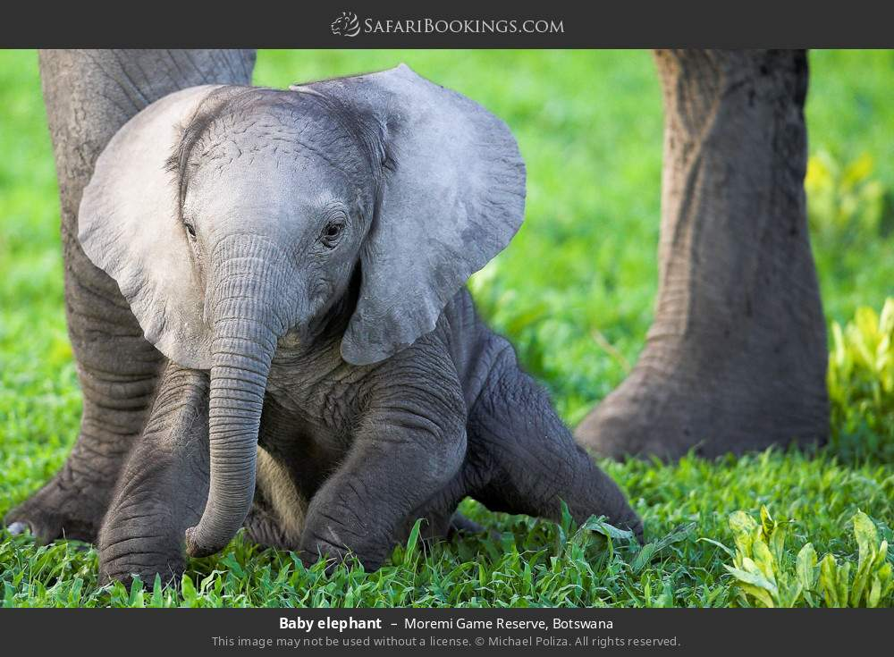 Baby elephant in Moremi Game Reserve, Botswana