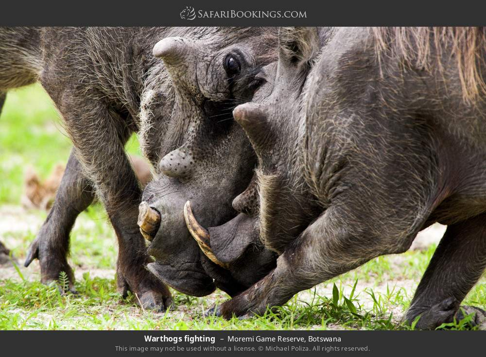 Warthogs fighting in Moremi Game Reserve, Botswana