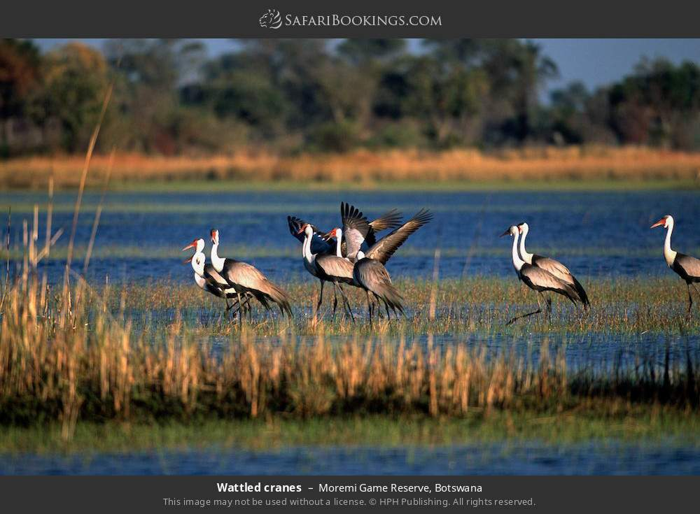 Wattled cranes in Moremi Game Reserve, Botswana