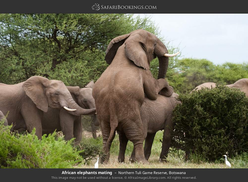 African elephants mating in Northern Tuli Game Reserve, Botswana