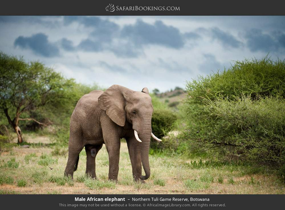 Male African elephant in Northern Tuli Game Reserve, Botswana