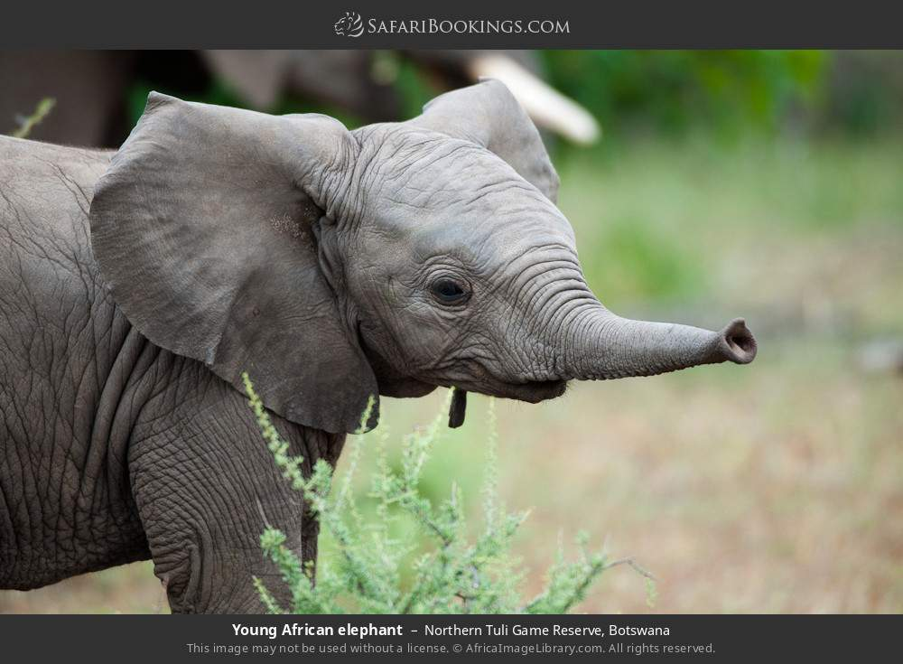 Young African elephant in Northern Tuli Game Reserve, Botswana