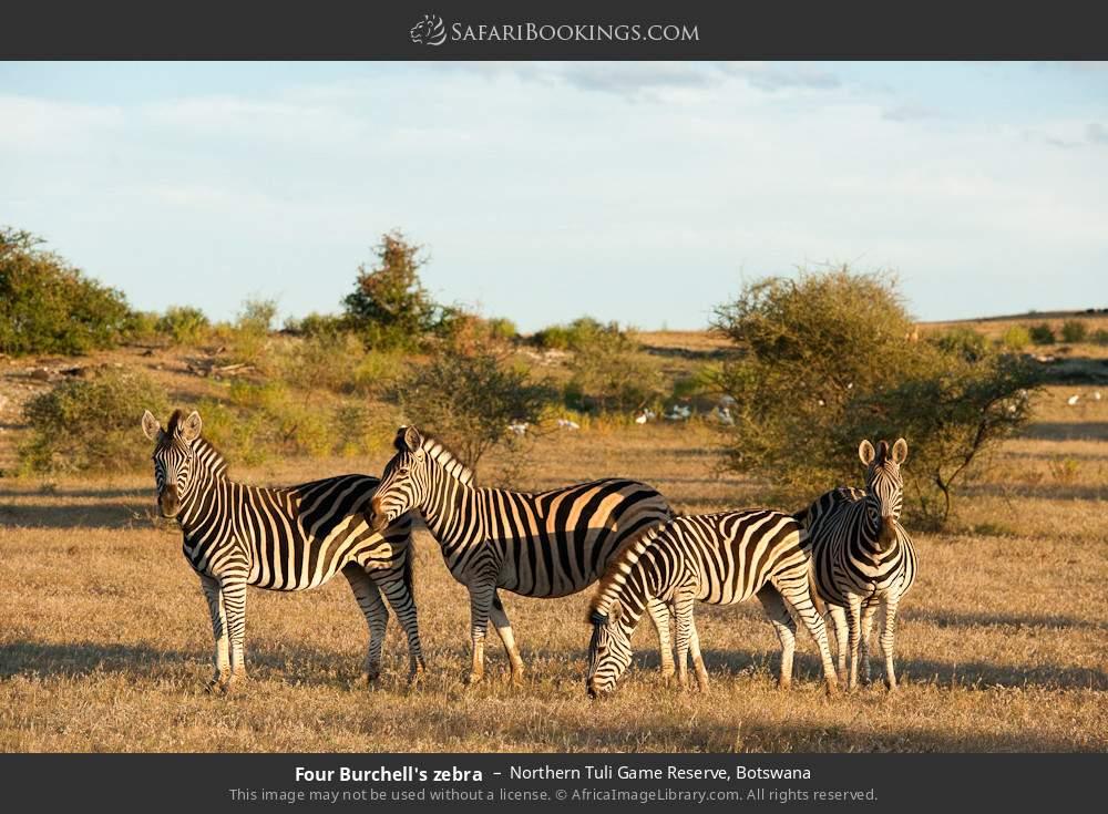 Four Burchell's zebra in Northern Tuli Game Reserve, Botswana