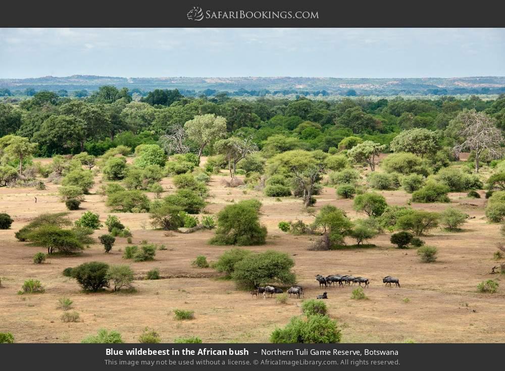 Blue wildebeest in the African bush in Northern Tuli Game Reserve, Botswana
