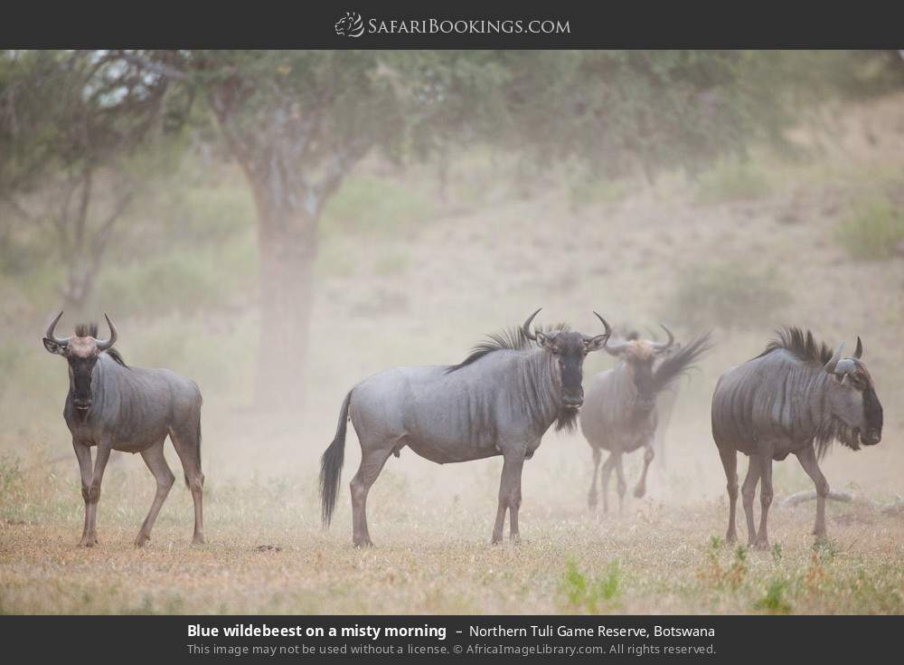 Blue wildebeest on a misty morning in Northern Tuli Game Reserve, Botswana