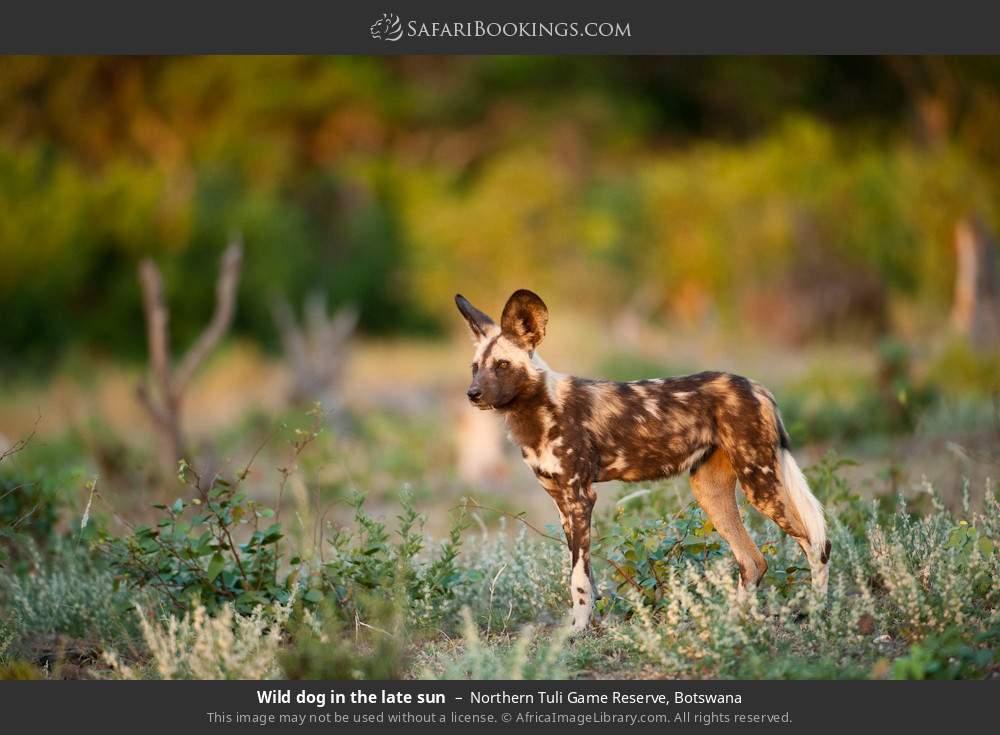 Wild dog in the late sun in Northern Tuli Game Reserve, Botswana
