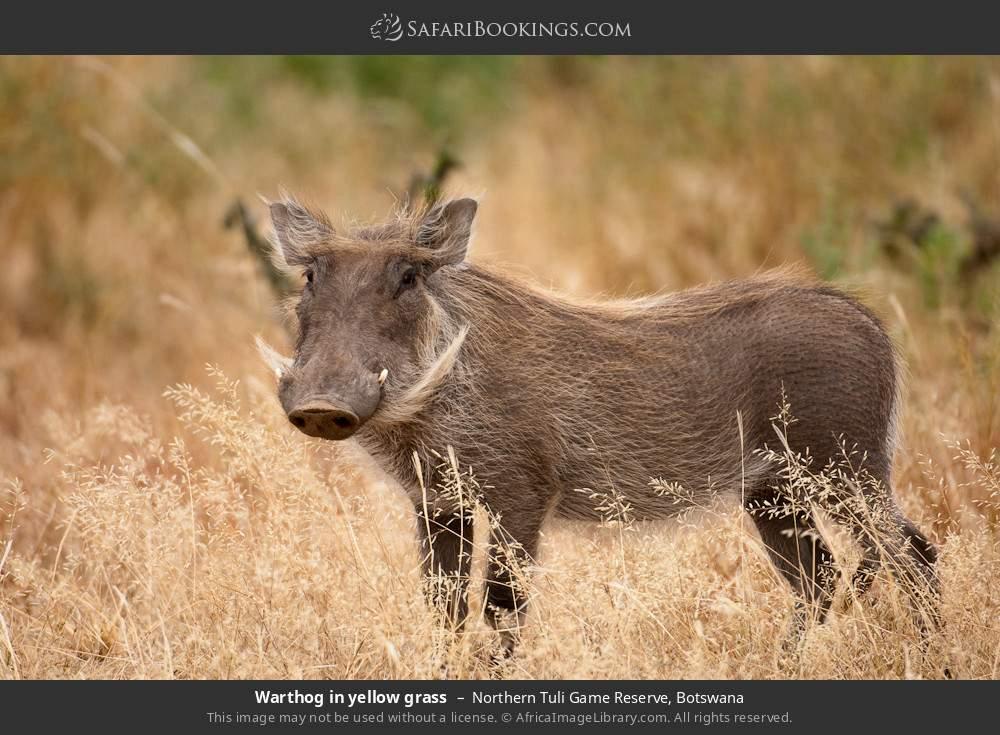 Warthog in yellow grass in Northern Tuli Game Reserve, Botswana
