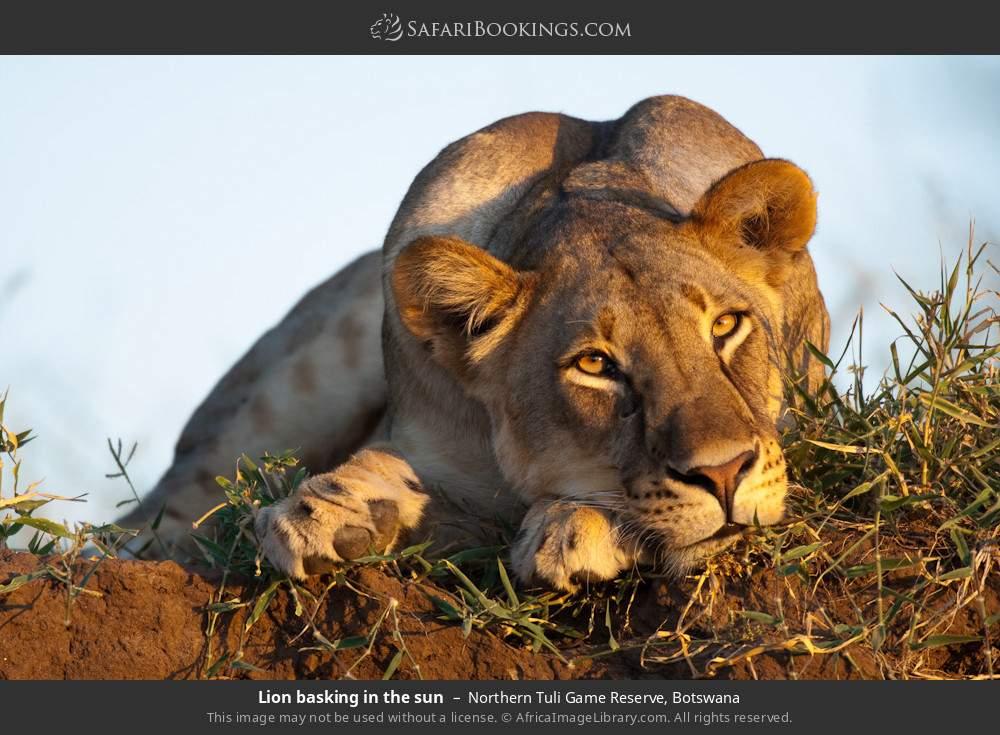 Lion basking in the sun in Northern Tuli Game Reserve, Botswana