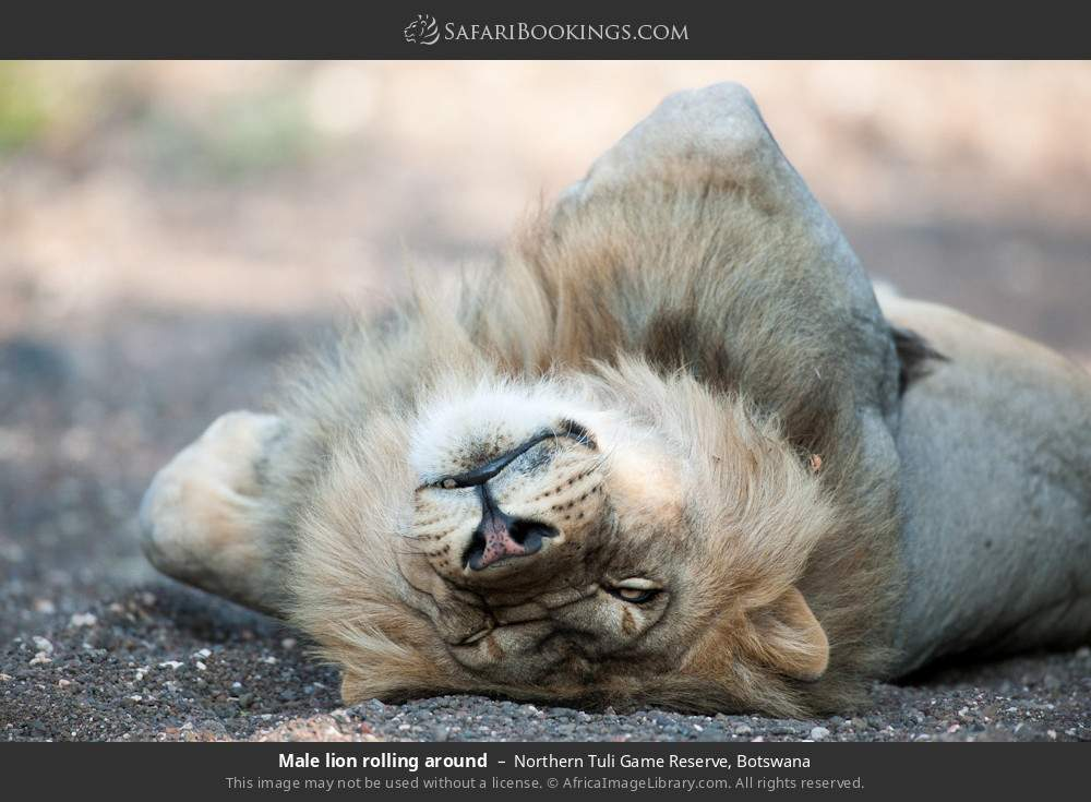 Male lion rolling around in Northern Tuli Game Reserve, Botswana