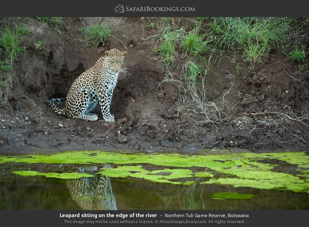 Leopard sitting on the edge of the river in Northern Tuli Game Reserve, Botswana