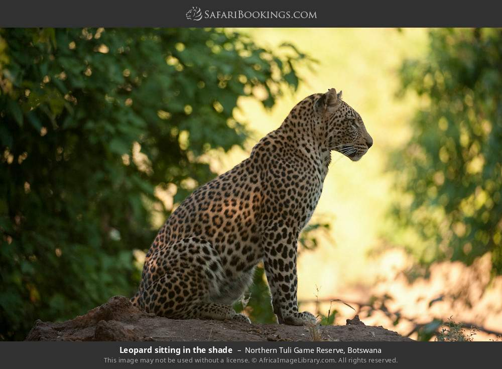 Leopard sitting in the shade in Northern Tuli Game Reserve, Botswana