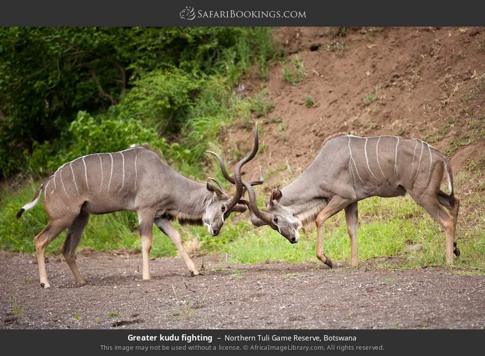Greater kudu fighting in Northern Tuli Game Reserve, Botswana