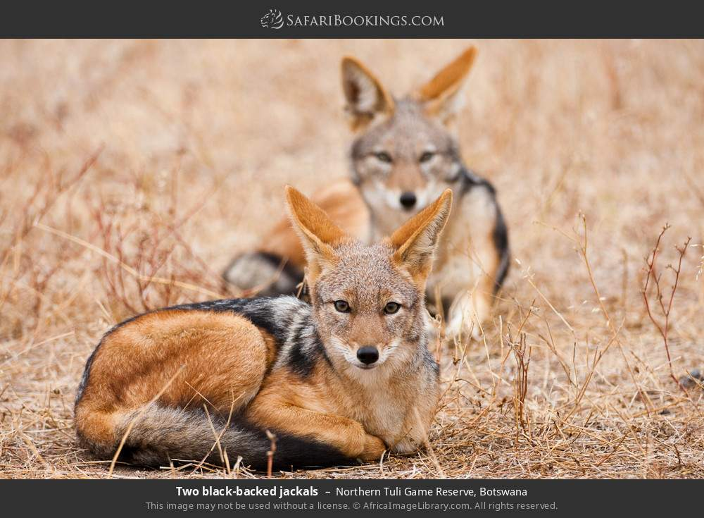 Two black-backed jackals in Northern Tuli Game Reserve, Botswana