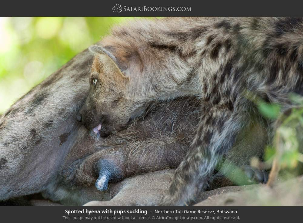 Spotted hyena with pups suckling in Northern Tuli Game Reserve, Botswana