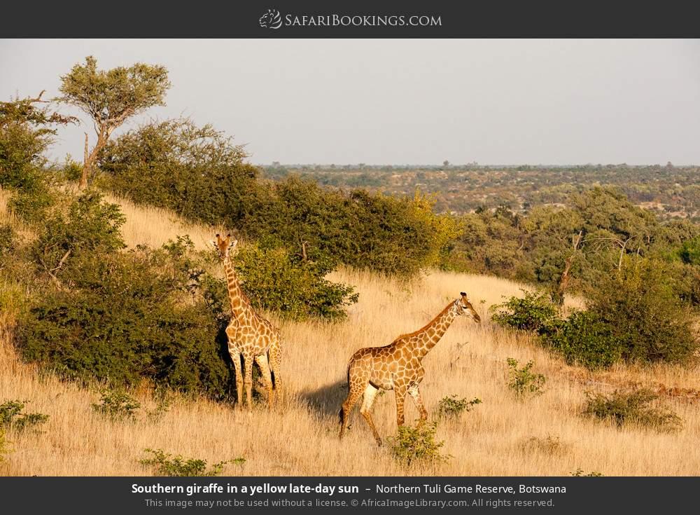 Southern giraffe in a yellow late-day sun in Northern Tuli Game Reserve, Botswana