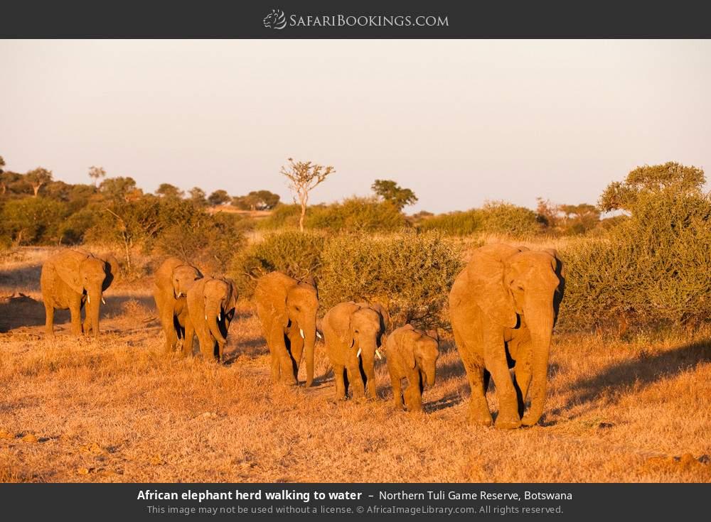 African elephant herd walking to water in Northern Tuli Game Reserve, Botswana