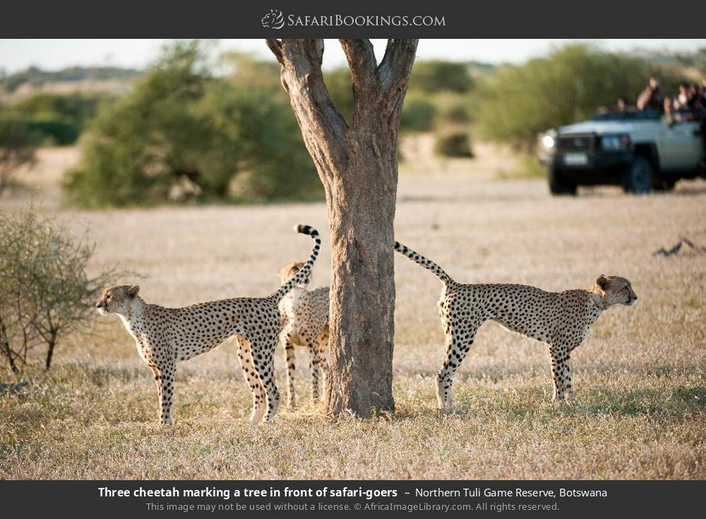 Three cheetah marking a tree in front of tourists in Northern Tuli Game Reserve, Botswana