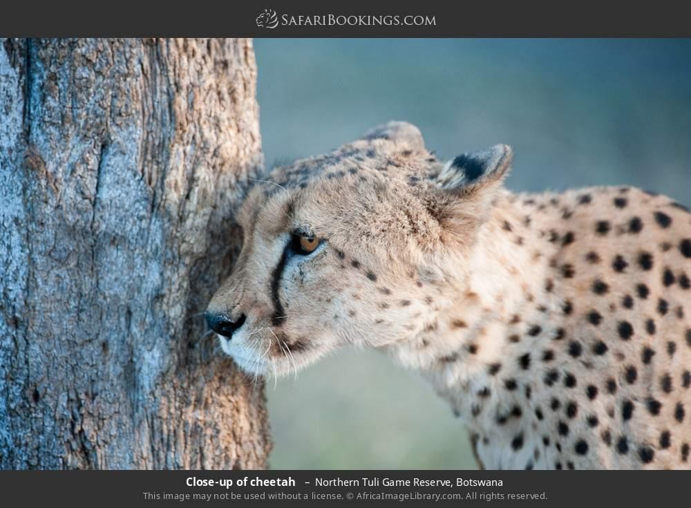 Close-up of cheetah  in Northern Tuli Game Reserve, Botswana
