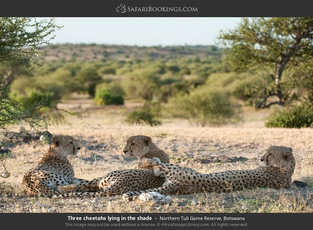 Three cheetahs lying in the shade in Northern Tuli Game Reserve, Botswana