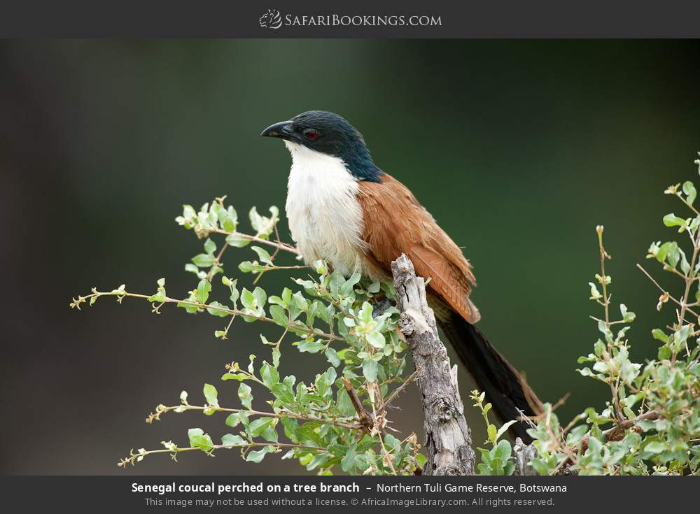 Senegal coucal perched on a tree branch in Northern Tuli Game Reserve, Botswana