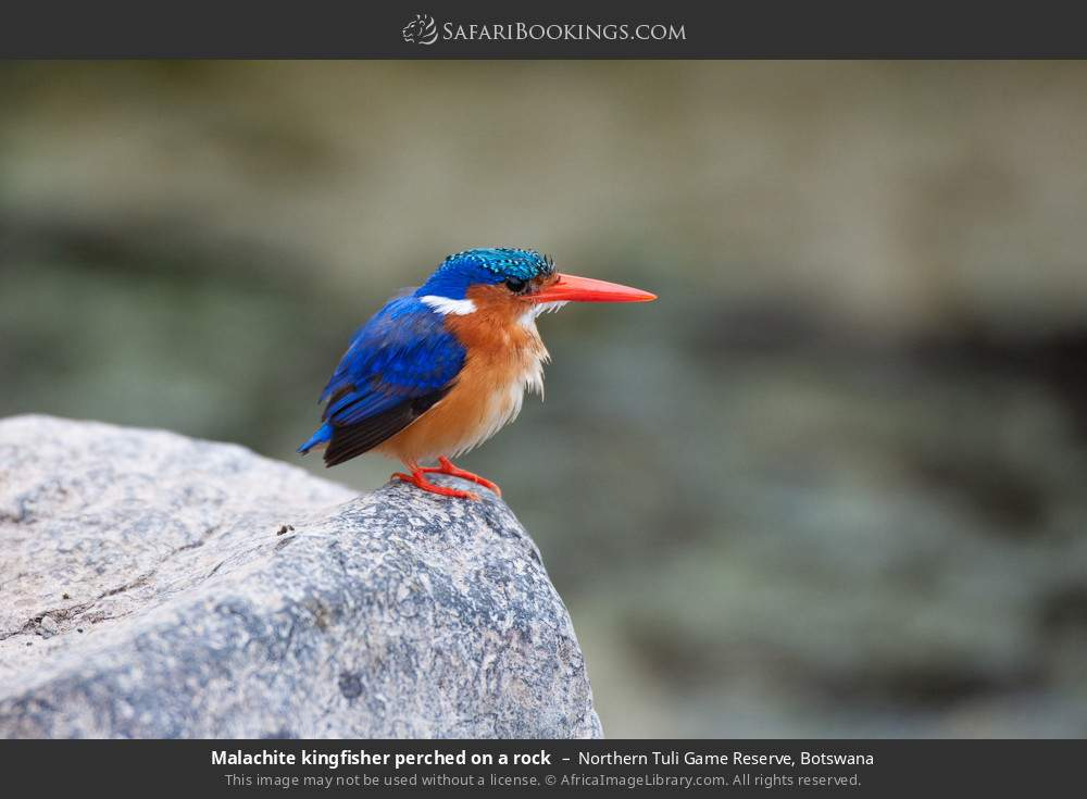 Malachite kingfisher perched on a rock in Northern Tuli Game Reserve, Botswana