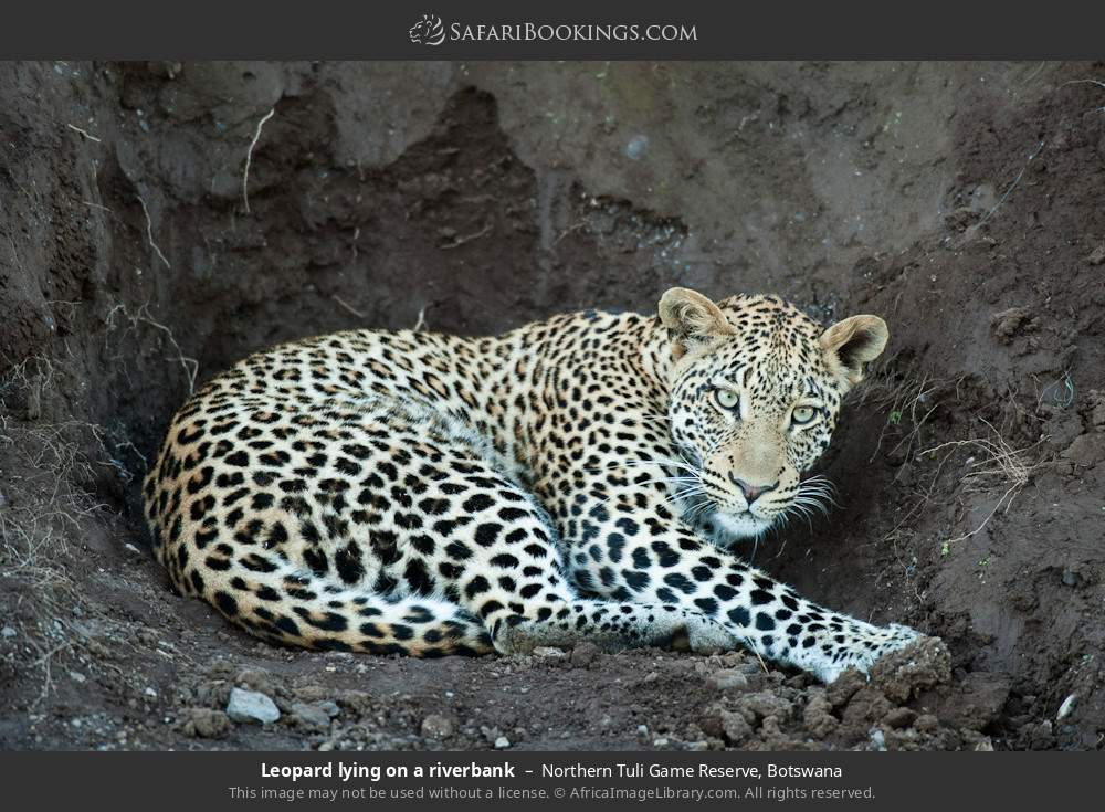 Leopard lying on a river bank in Northern Tuli Game Reserve, Botswana