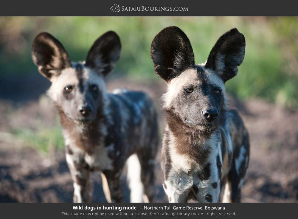 Wild dogs in hunting mode in Northern Tuli Game Reserve, Botswana
