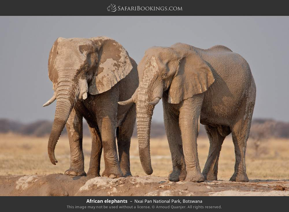 African elephants in Nxai Pan National Park, Botswana
